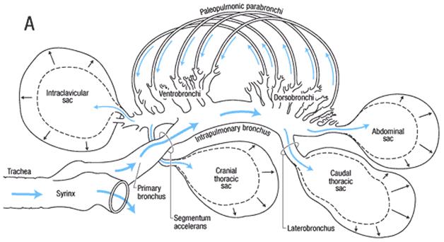 respiratory system in birds