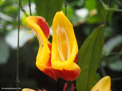 Mysore Clock Vine by welaughindoors