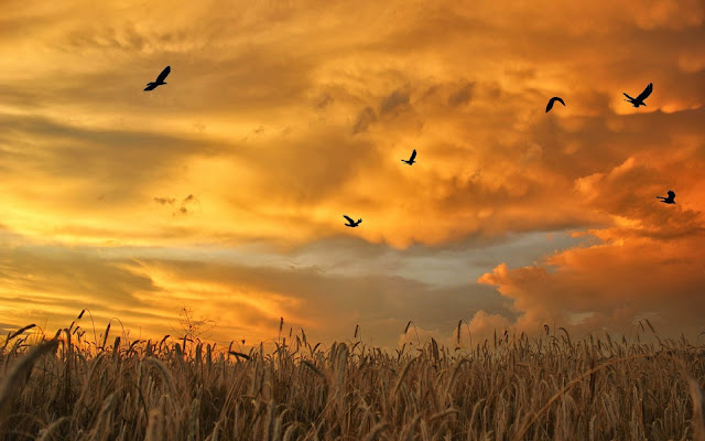 Saul Aurora - Musings, blessings and prayers Field_flock_spikes_birds_sky_grass_wheat_field_1920x1200
