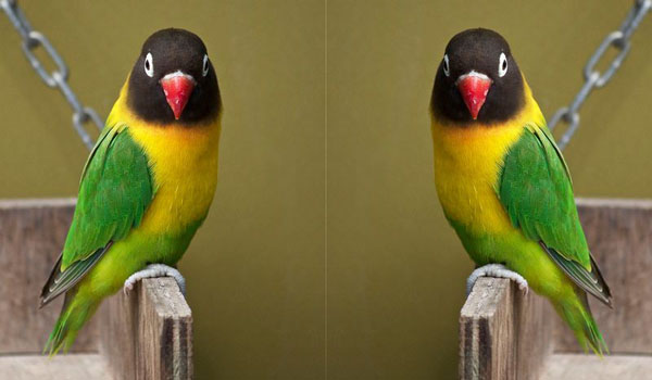 Harga Burung Lobebird Olive