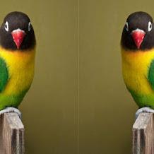 Harga Burung Lovebird Olive Terbaru 2018