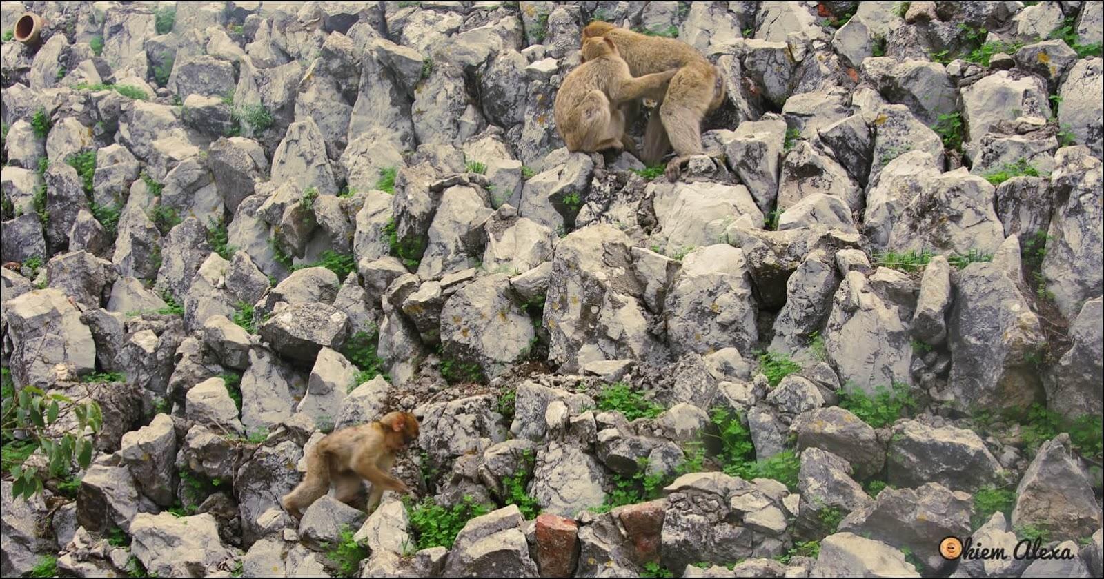 Gibraltar, małpy