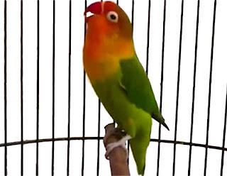 Burung Lovebird -Setelan Prakontes (Menjelang Kontes) Burung Lovebird dan Pemanfaatan Kerodong Untuk Kontes atau Lomba Burung Lovebird