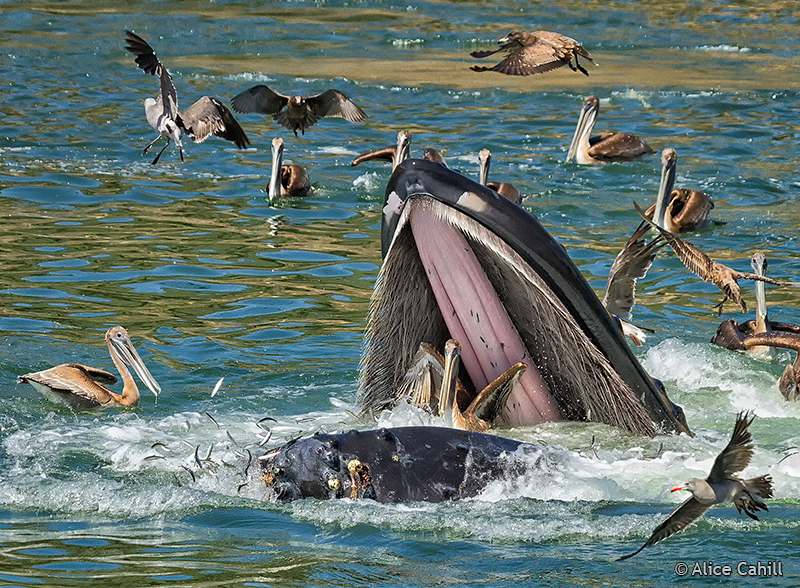 Sense of Wonder Photography: WHALE almost eating a PELICAN