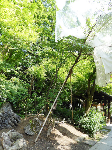 京都御苑・宗像神社 元左近の桜