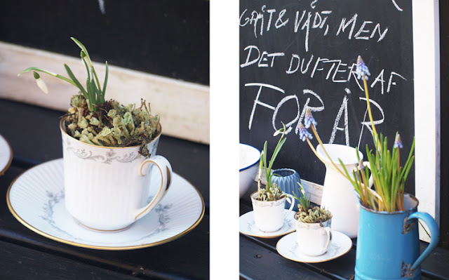 Vintergækker i kaffekopper