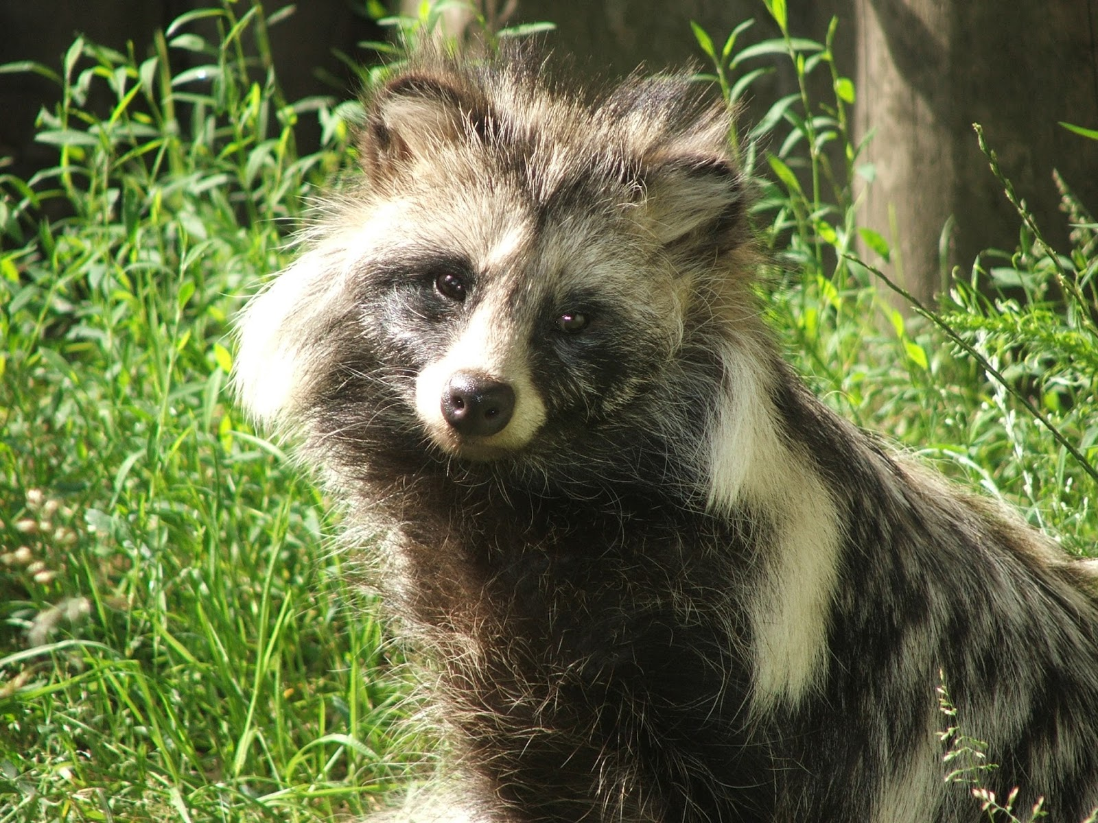 Raccoon dog at home: photo and description, food and habits 11