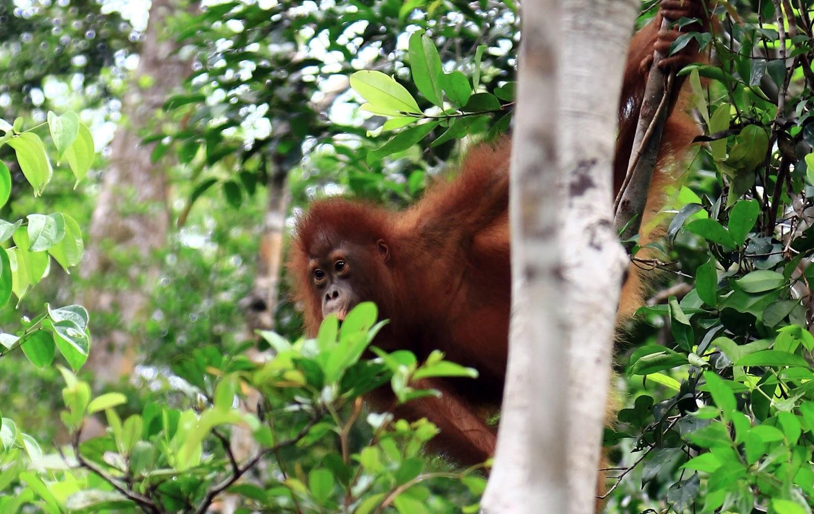 Tantrum pada bayi primata