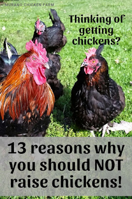 Why you shouldn't raise chickens