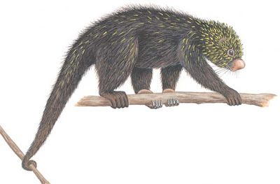 Mexican hairy dwarf Porcupine