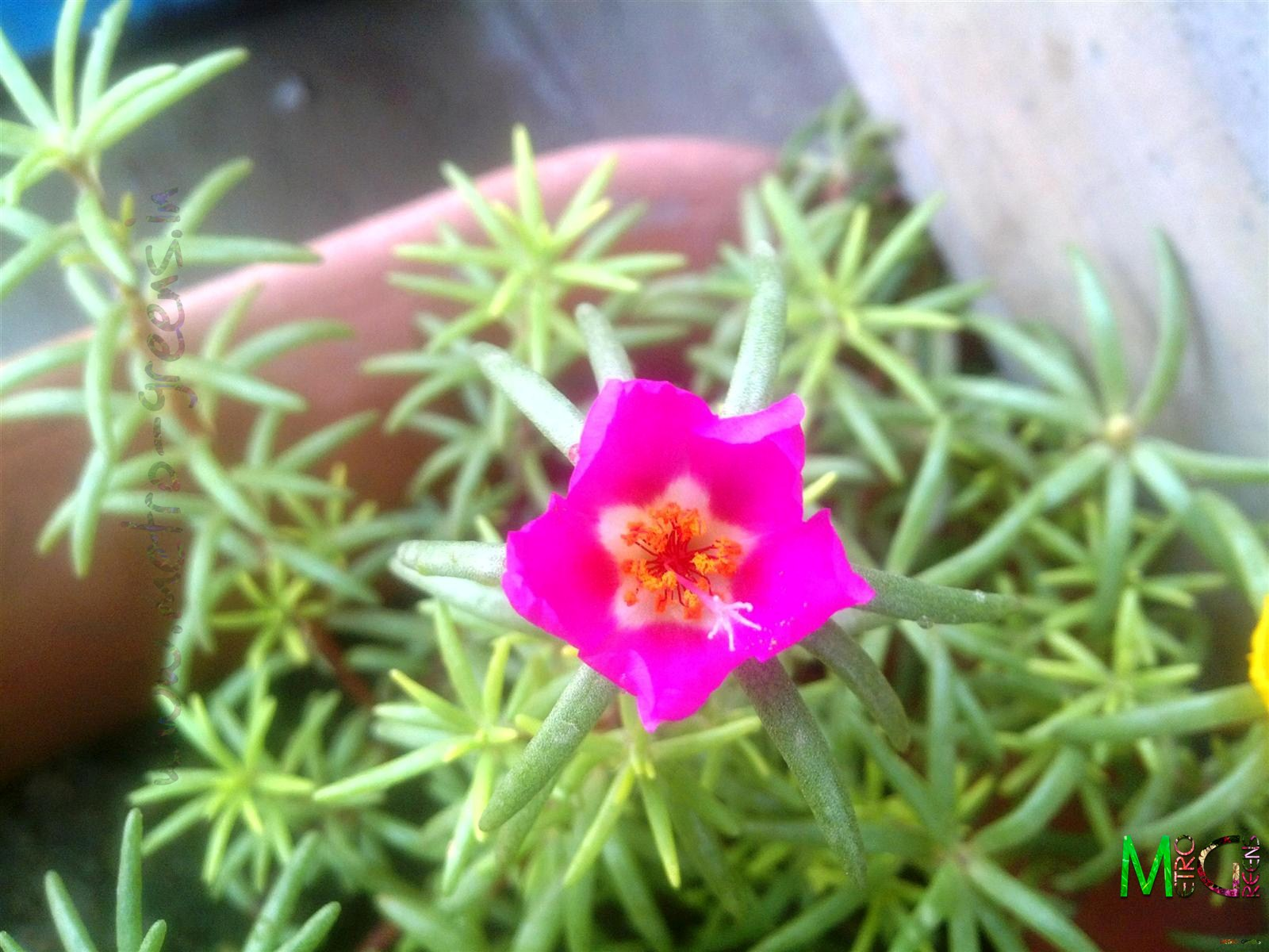Metro Greens: A pink portulaca bloom.