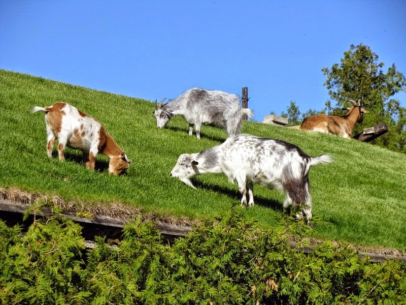 A Restaurant With Goats On The Roof