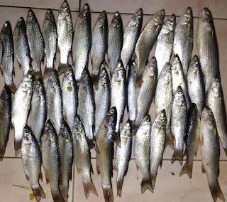 Umpan Jitu Ikan Belanak