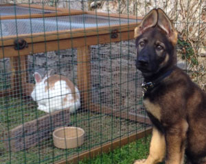 German shepherd puppy looking at camera with ears up and pointing inwards sat very close to a rabbit run.