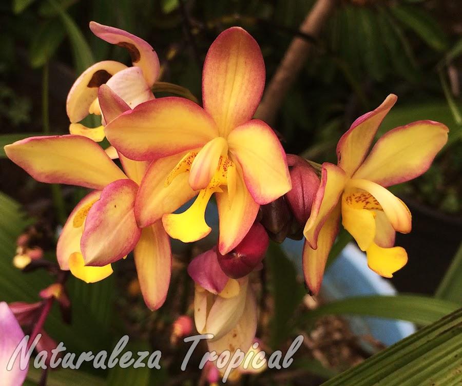 Híbrido cubano conocido como Sabrina-Abel. Híbrido del género Spathoglottis