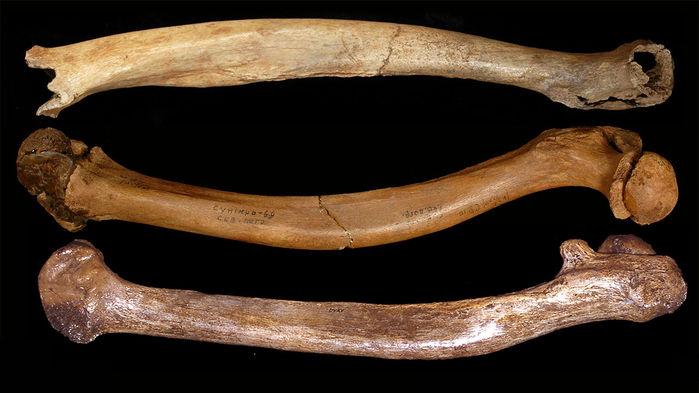 Estos fémures curvados fueron hallados en la cueva china de Tianyuan, en el enterramiento de Sunghir (Rusia) y el yacimiento de Dolní Vĕstonice (Repúbica Checa). Foto: Erik Trinkaus.
