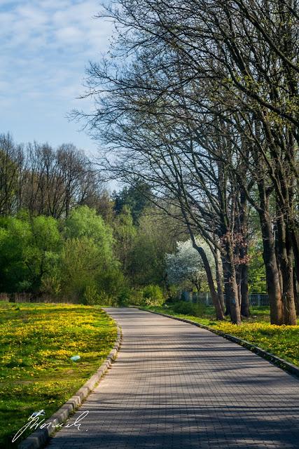 Sulejówek, drzewa, maj