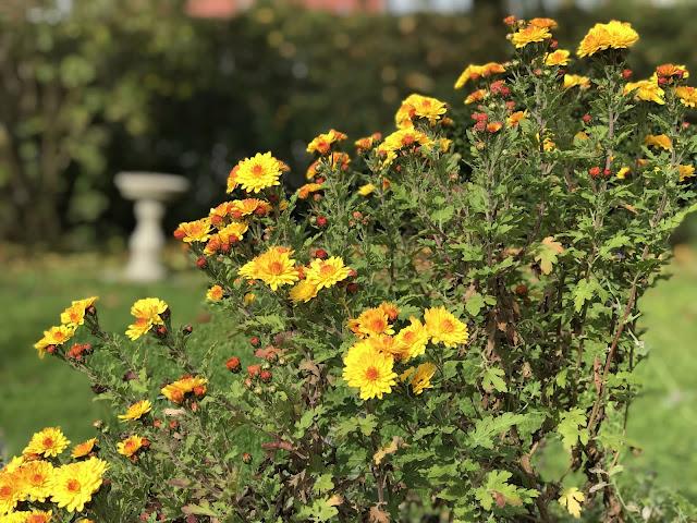 Herbstchrysantheme Bienchen