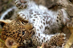 Leopards are primarily nocturnal ground dwelling animals
