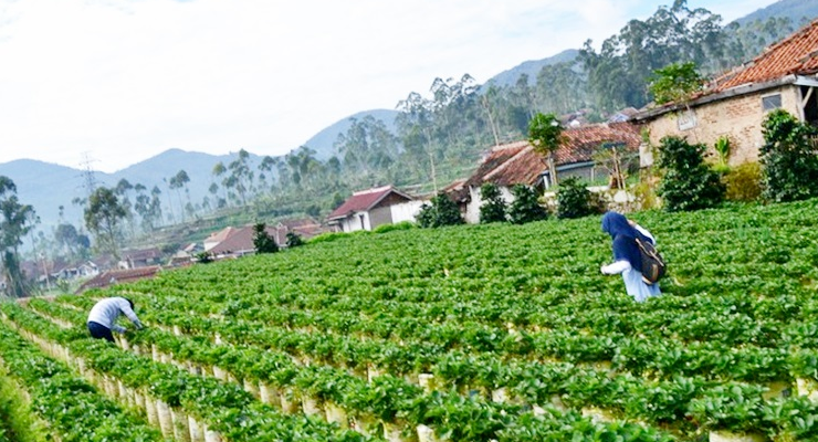 Tempat Wisata Kebun Strawberry Ciwidey di Bandung