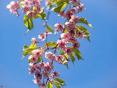 Kawazu-zakura (Japanese cherry) flowers: Jochi-ji