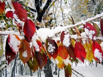 雪と桜の紅葉