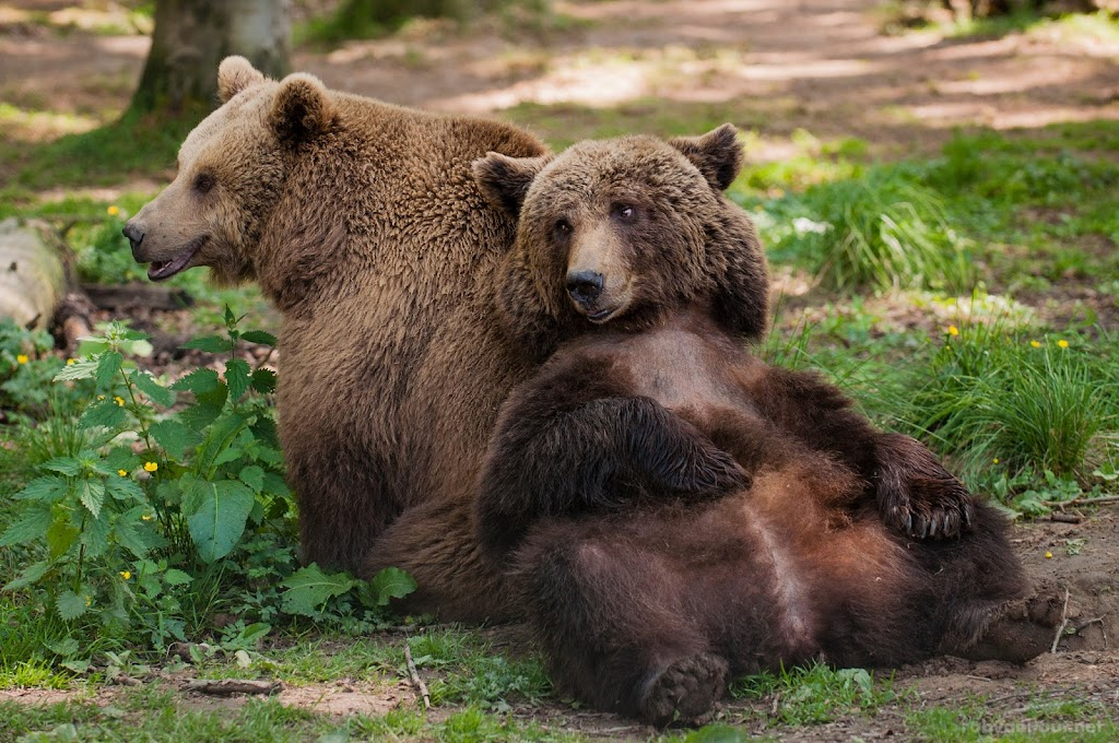 <b>Brown Bears</b> Anholter Bärenwald