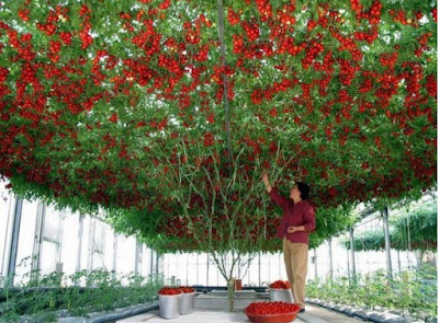 biggest tomato plant in the world which has setup a Guinness world record