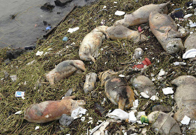 Dead Pigs Found In Chinese River