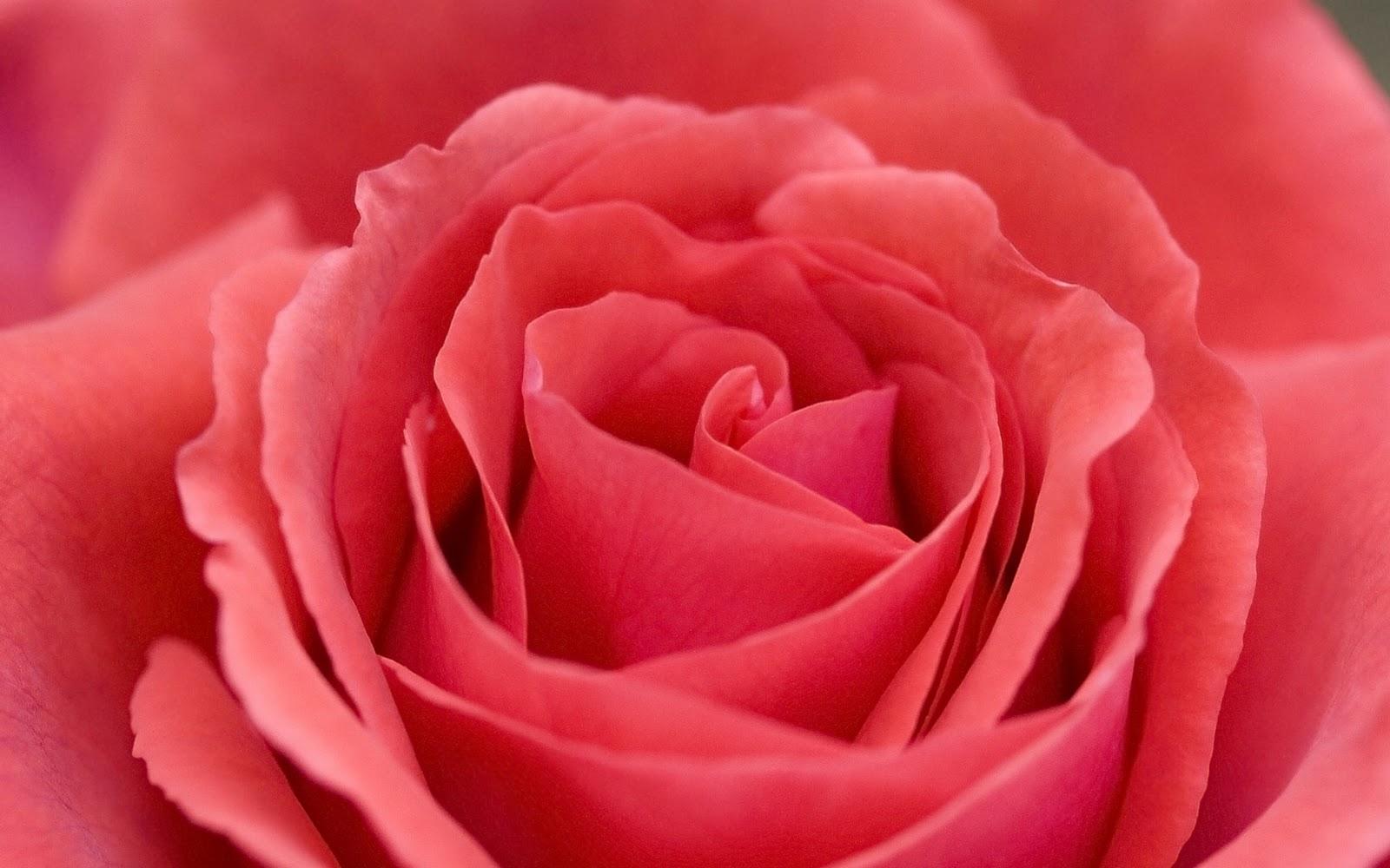 Yellow wallpaper red roses - Big rose flower wallpaper ...