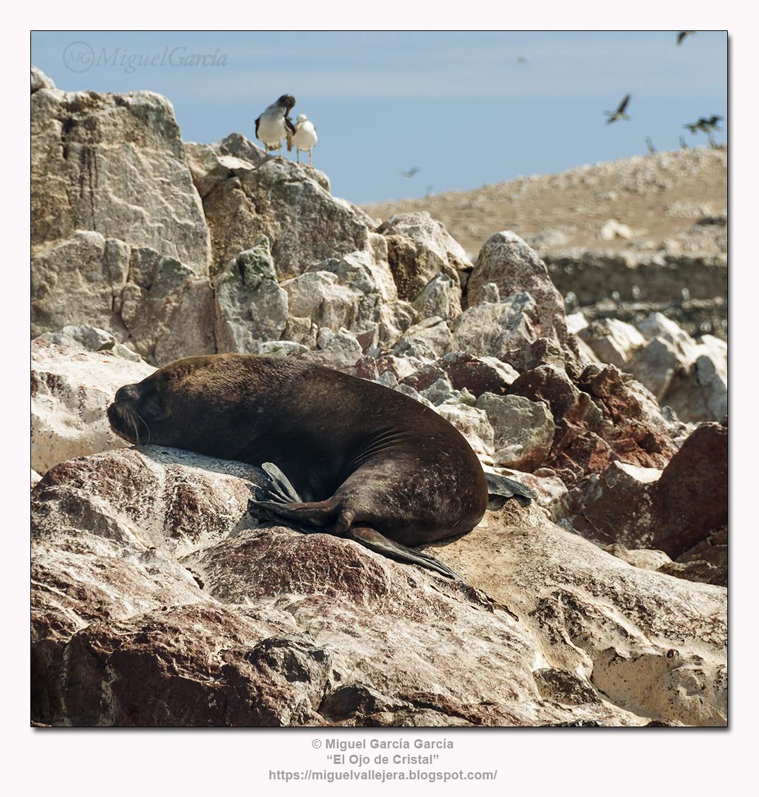 Islas Ballestas, Perú.- Lobos Marinos.
