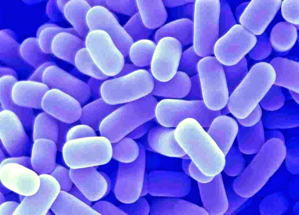 Лактобактерии