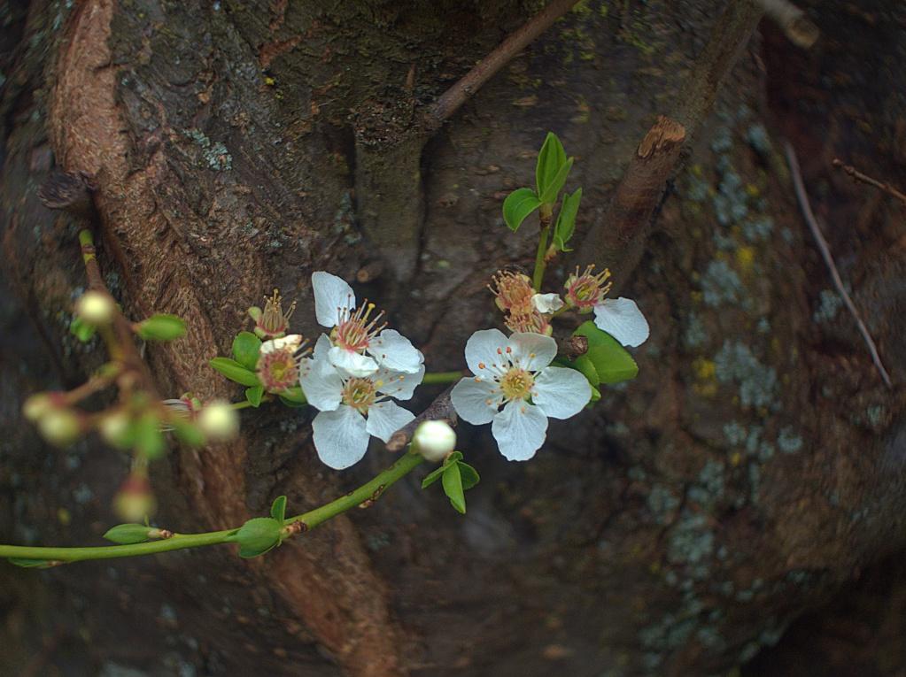 #273 Porst Weitwinkel f3.5 35mm  - Erste Kirschen blühen