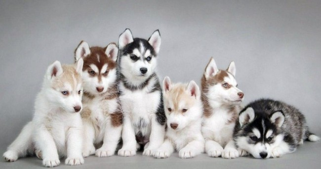 250 Nombres Para Perros Husky Macho O Hembra 2021