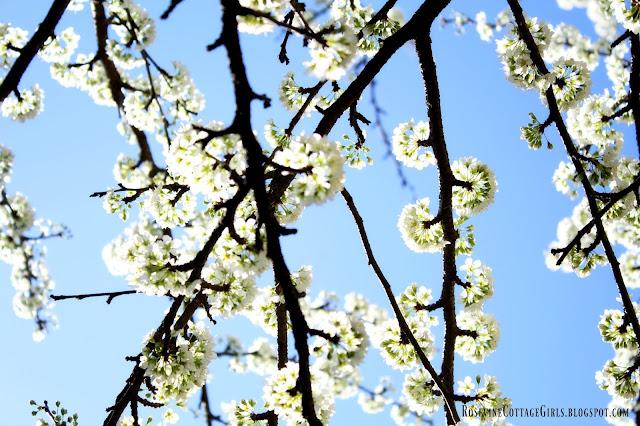 Plumb Tree Blooming