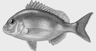 Menangkap Ikan Kakap Dengan Rawai Dasar