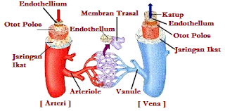 pembuluh darah yang menghantar darah menuju ke jantung Perbedaan Pembuluh Nadi (Arteri)  Pembuluh Balik (Vena)
