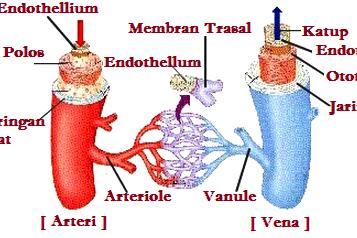 Perbedaan Pembuluh Nadi (Arteri) & Pembuluh Balik (Vena)
