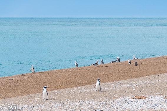 Pingüinera de San Lorenzo. Pingüinos de Madagascar. Argentina