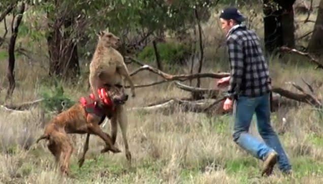 Hombre pelea con kanguro para salvar a su perro