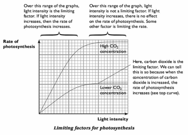 light intensitys effect on photosynthesis essay Free essay: title a study to investigate the effect of varying light intensities on the rate of photosynthesis and oxygen production introduction.
