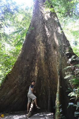 Saya dan pohon terbesar di Mulu ational Park
