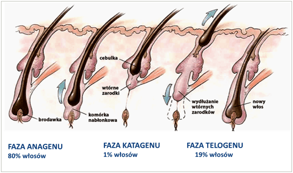 grafika | obraz | pharmaceris | cykl włosa | anagen | katagen | telogen