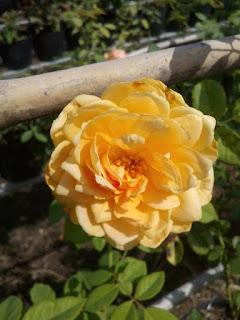 Hoa hồng leo đầu tiên ở làng hoa Sa Đéc