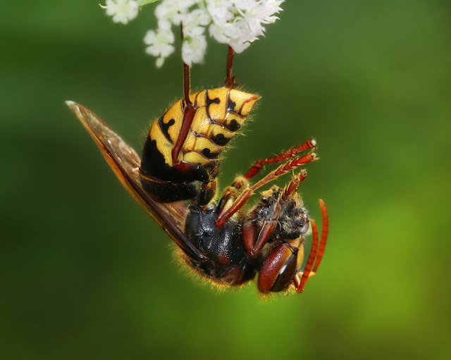 Asian Giant Hornet facts and information 1