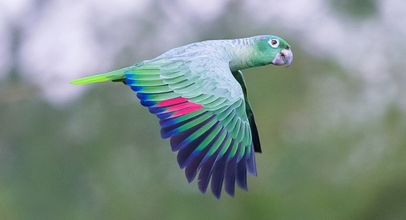 Papagaio-Moleiro (Amazona farinosa)