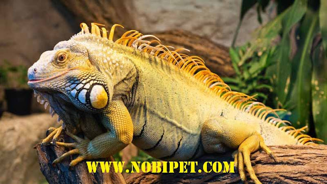 cach-nuoi-iguana-reptile-bo-sat-rong-nam-my-1