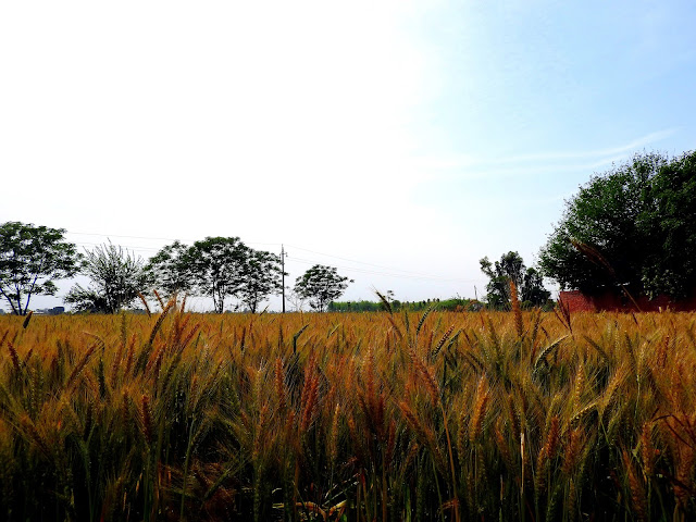 Of wheat and fields of wheat | Amritsar, Punjab (April 2016)