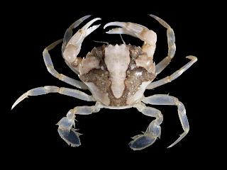 Mengenal Kepiting