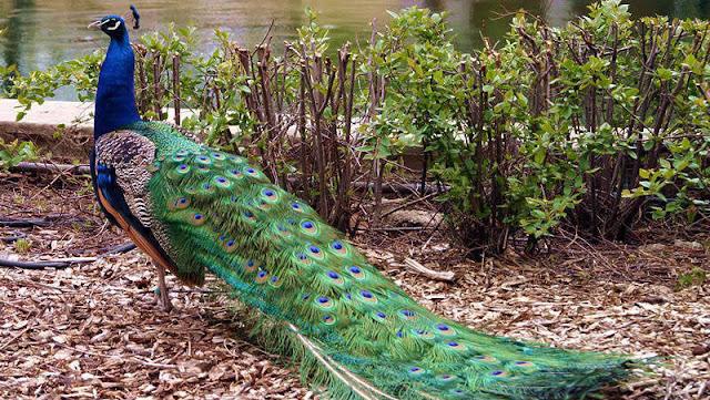 Những bệnh thường gặp ở chim công